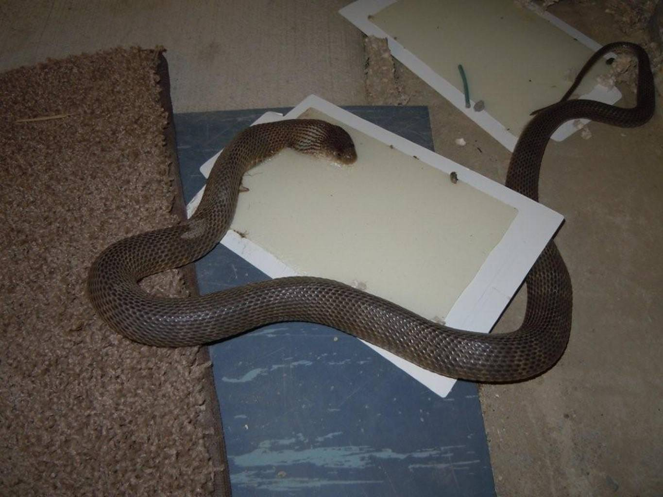 Imagine Waking Up To This Little Guy In Your ROOM Ducatiorg - Kitchen sink snake